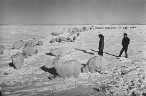 Flock belonging to Navajo shepherds foraging in deep snow of severe winter.. (Ralph Crane/Life magazine, 1967.)